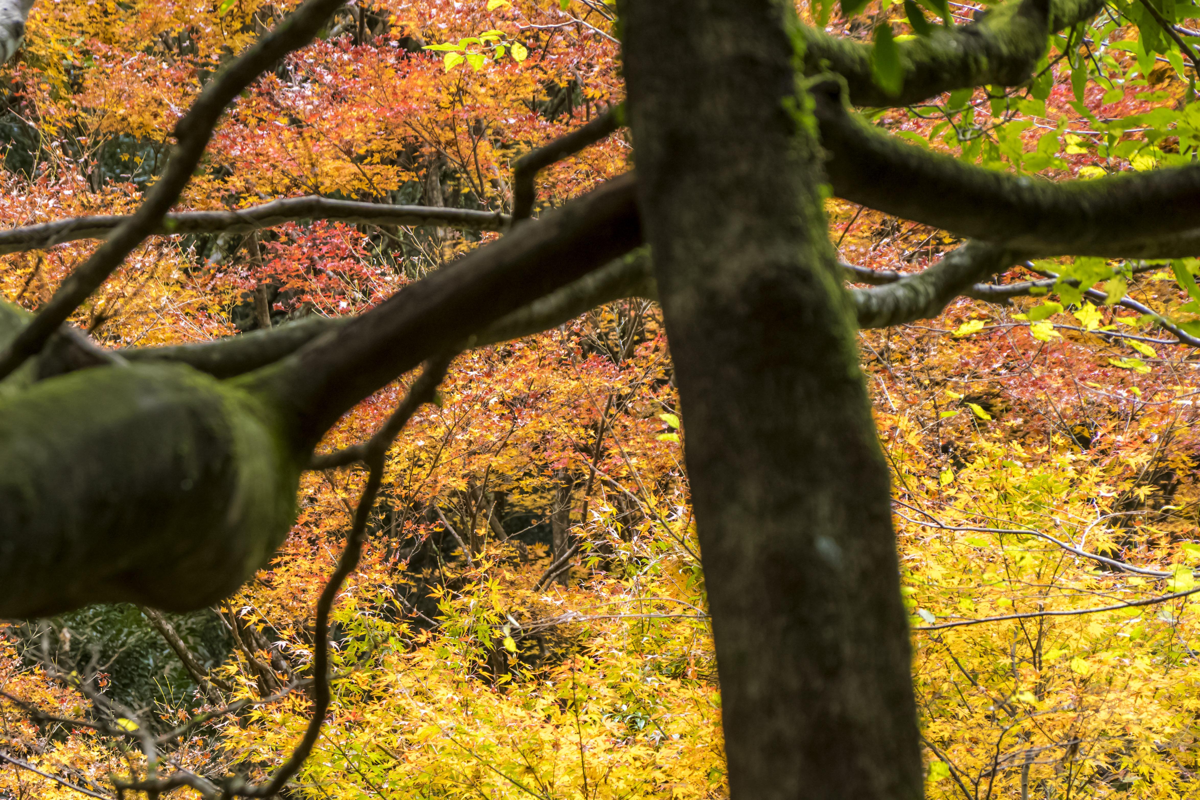 轟峡・轟渓流(長崎県諫早市高来町)の轟の滝、紅葉