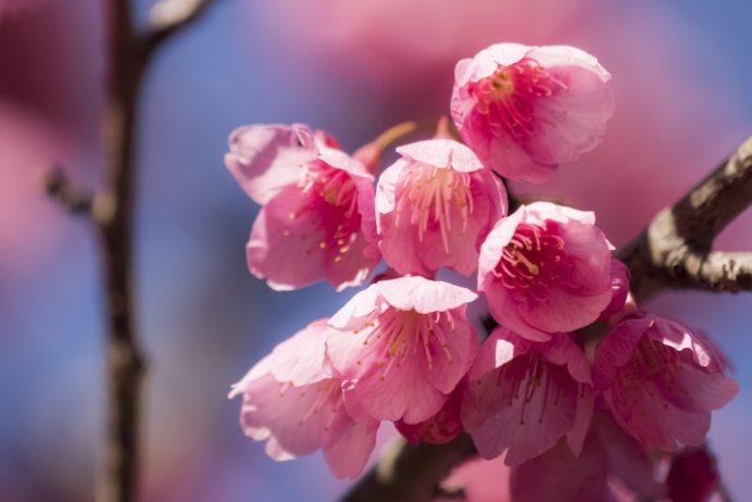 西山神社(長崎市西山本町)の緋寒桜、2017.2.17