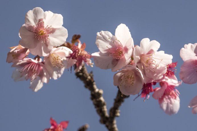 西山神社(長崎市西山本町)の寒桜、2017.1.17