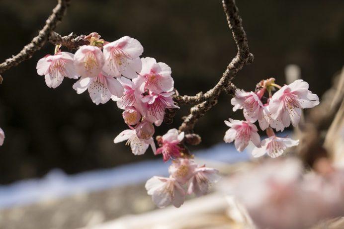 西山神社(長崎市西山本町)の寒桜