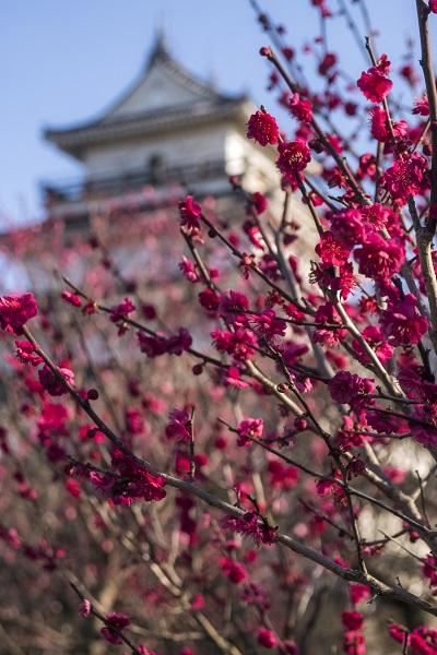 島原城(長崎県島原市)の梅園