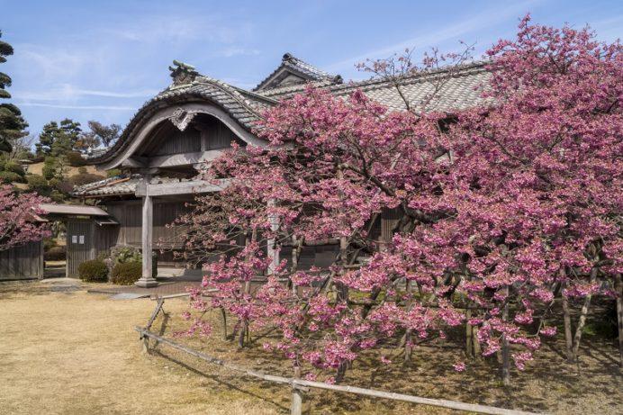 「緋寒桜の郷まつり2020」(鍋島邸)【見頃はいつ?】~世界よ、これが国見の寒桜だ