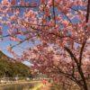 【2021年見頃速報!】「佐々町の河津桜」~駐車場とシロウオ実食も解説