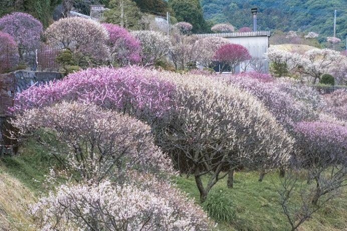 原種梅林 虎馬園の梅(長崎市松原町)