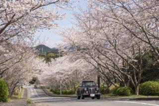 【花見の新名所】桜の里の桜(長崎市)〈開花・見頃はいつ?〉