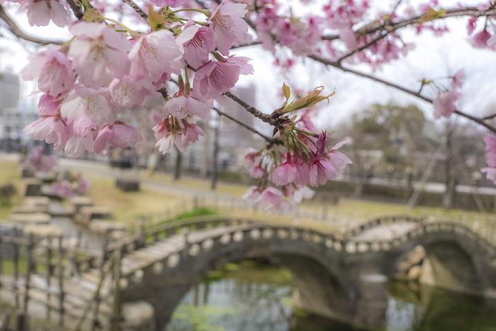 「諫早公園の大寒桜」【3月でも花見でフィーバー!】