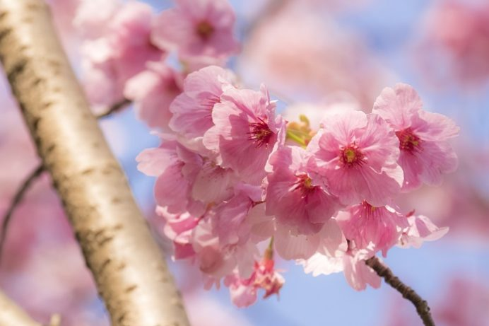 佐世保中央公園(佐世保市宮地町)の陽光桜