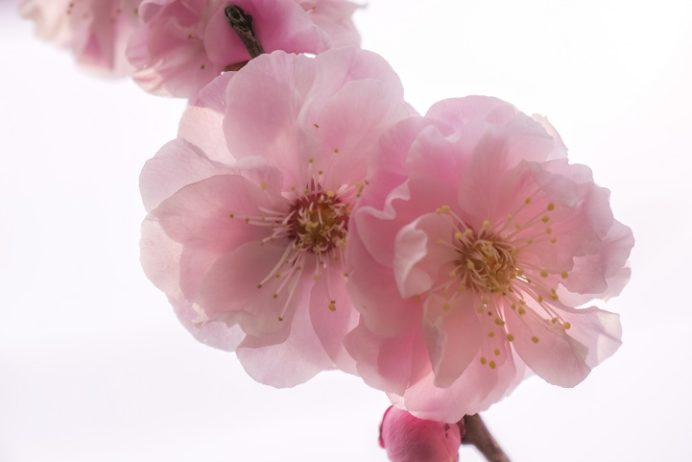 原種梅林 虎馬園の梅(長崎市松原町)、桜梅
