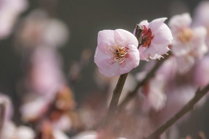 原種梅林 虎馬園の梅(長崎市松原町)、書屋の蝶