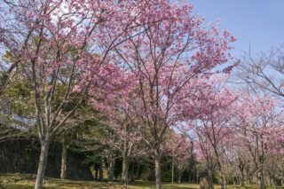 「佐世保中央公園の2千年さくら」【ソメイヨシノの数日前に開花!】