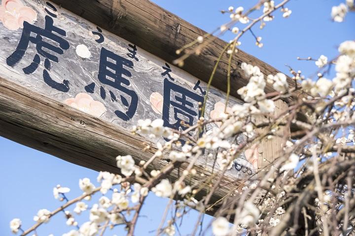 「原種梅林 虎馬園の見頃は?」(長崎市松原町)【素晴らしい!ここは梅のパラダイス】