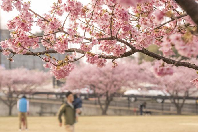 久原公園の河津桜(長崎県大村市)