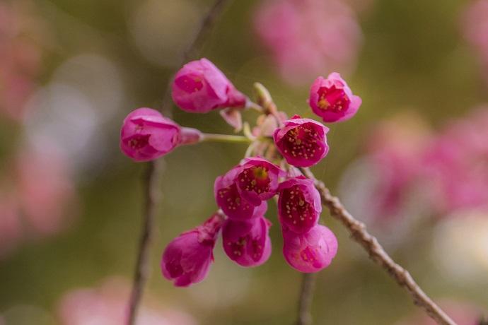 七面山妙光寺(長崎市鳴滝)の啓翁桜