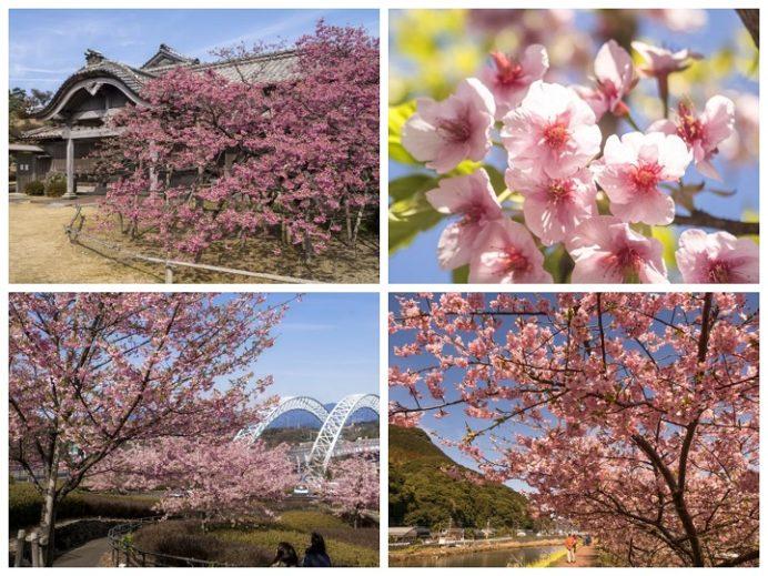 長崎県の河津桜、早咲く桜、寒桜