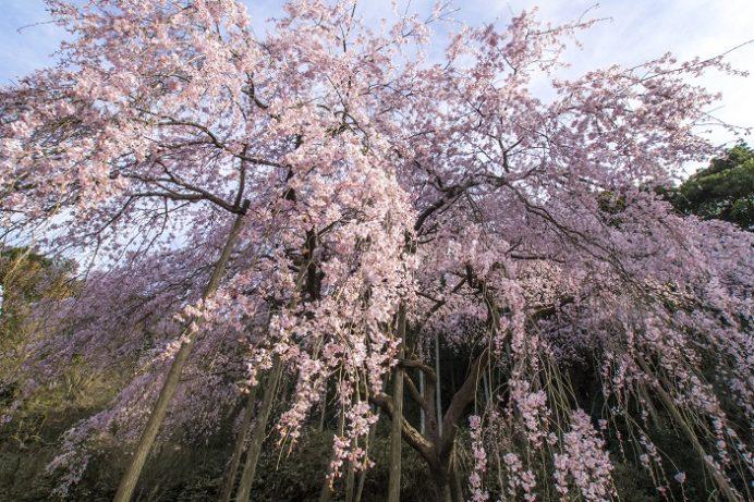波佐見町田ノ頭郷のしだれ桜(長崎県)