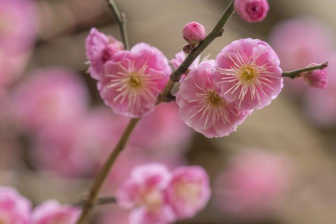 松森天満宮(松森神社)、長崎市上西山町の梅