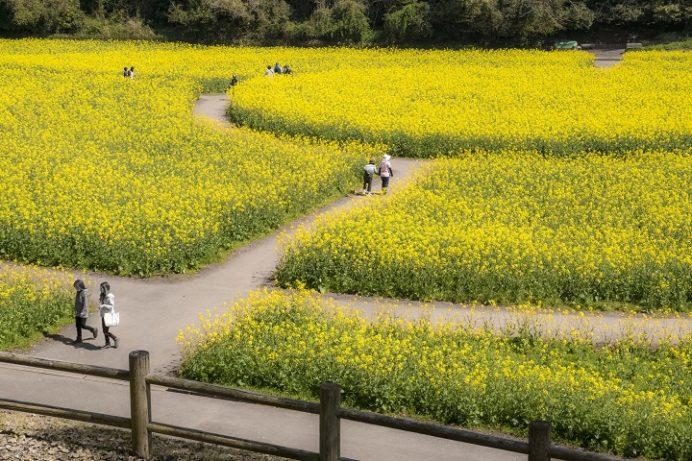 展海峰(長崎県佐世保市下船越町)の菜の花