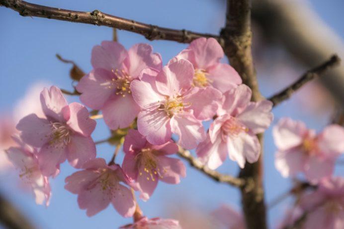 百花台公園の河津桜(雲仙市国見町多比良)