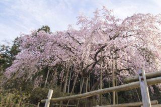 「波佐見町のしだれ桜2020」(田ノ頭郷)【見頃&駐車場】完全ガイド