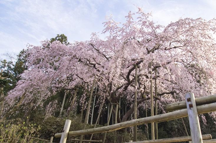 【一般開放中止】「波佐見町のしだれ桜2020」(田ノ頭郷)【見頃&駐車場】完全ガイド