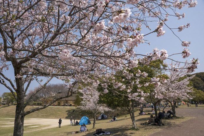 桜の里(長崎市三京町)の桜