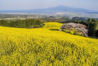 白木峰高原の菜の花【開花速報2021】~見どころを完全ガイド!