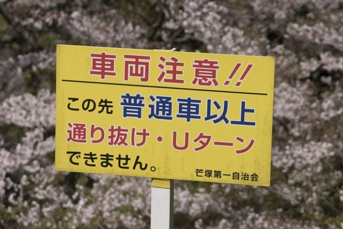 芒塚(長崎市)の桜、花見