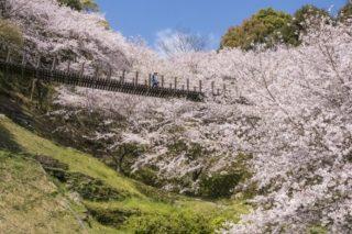 花見の穴場!「琴海中央公園の桜」(長崎市)【見頃は?駐車場あり】