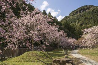 【正確な開花情報2020!】佐々町 真竹谷のしだれ桜群は〈長崎県最大のスケール〉(北松浦郡)