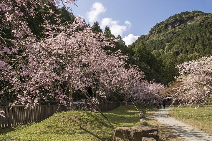 【正確な開花情報2021!】佐々町 真竹谷のしだれ桜群は〈長崎県最大のスケール〉(北松浦郡)