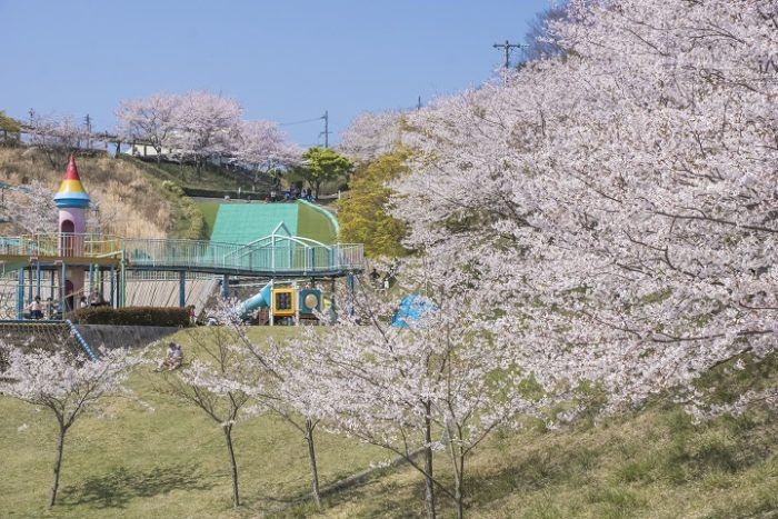【満開いつ?開花速報2021!】「琴平スカイパークの桜」(大村市)~遊具の充実度がチート