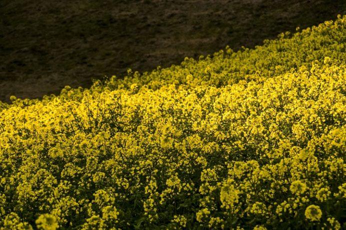 白木峰高原(長崎県諫早市)の菜の花と桜の花見