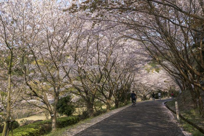 伊佐ノ浦公園(長崎県西海市西海町)の桜と花見