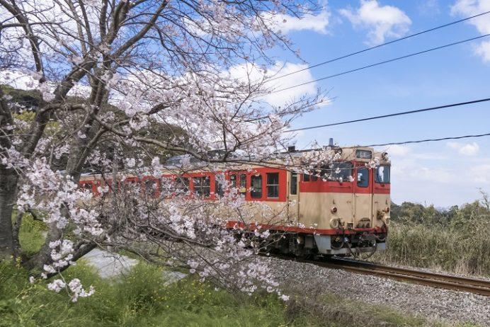 古川の桜並木(諫早市多良見)