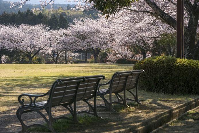 百花台公園(雲仙市国見町多比良)の桜、花見
