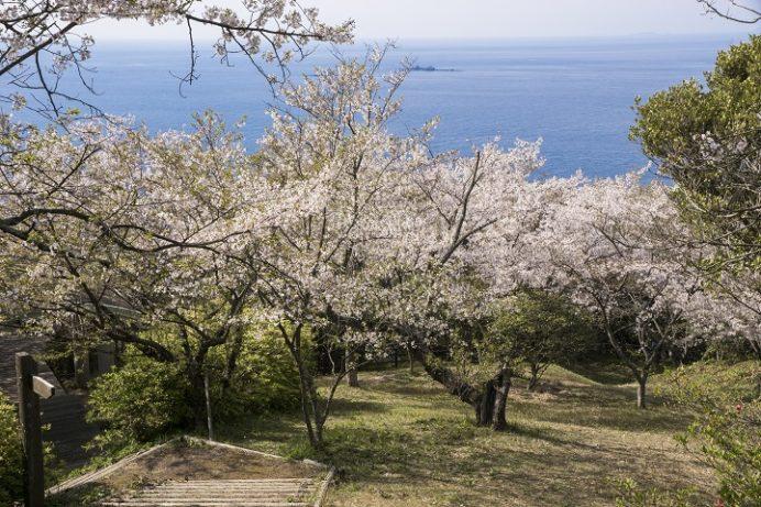 権現山展望公園・椿公園(長崎市野母崎)の桜と花見