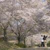 【満開日いつ?開花速報2021!】「野岳湖公園の桜」(大村市)~子供連れなら花見だよ全員集合!