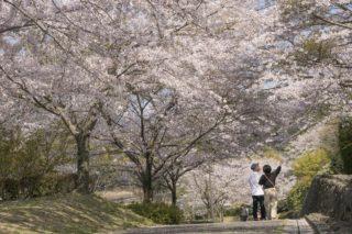 「野岳湖公園の桜」(大村市)【子供連れなら花見だよ全員集合!】