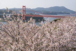 「田平公園の桜まつり-2020年の開花は?」(平戸市)【お花見ランチに最適!】