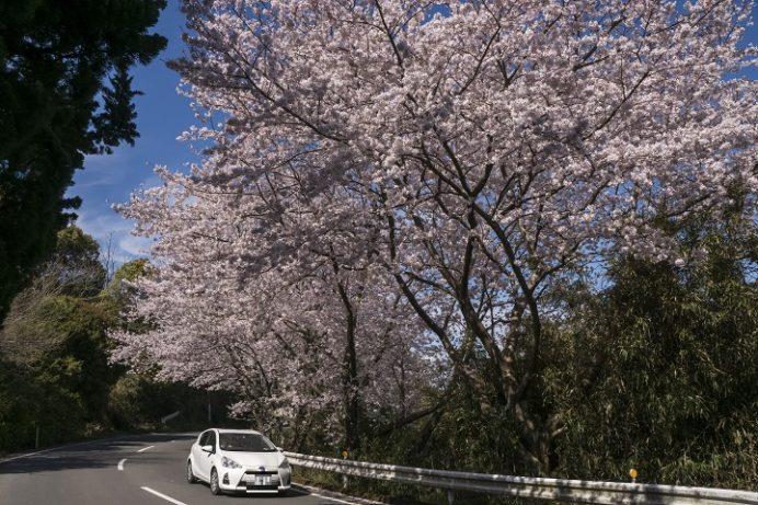 森山の桜のトンネル(諫早市森山町)