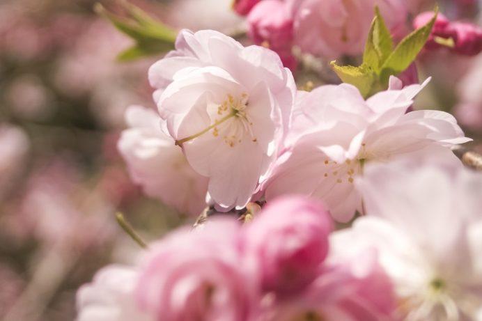 真竹谷のしだれ桜群(長崎県北松浦郡佐々町)