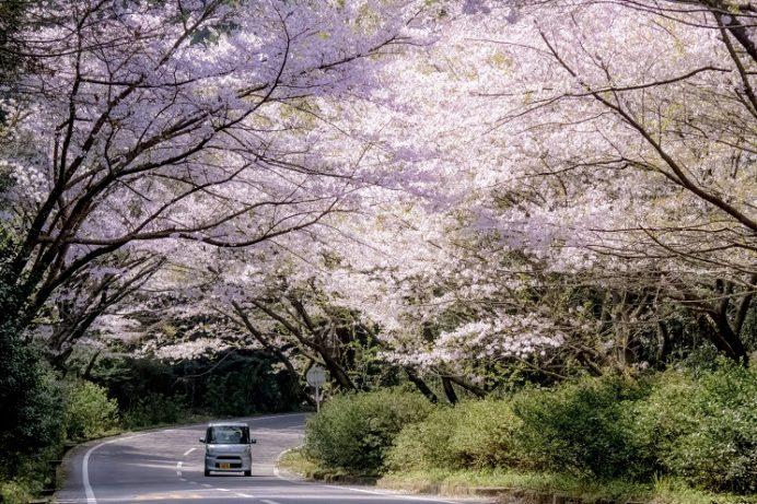 「森山町 桜のトンネル」(諫早市)【花見ドライブに最適!】~開花情報は?