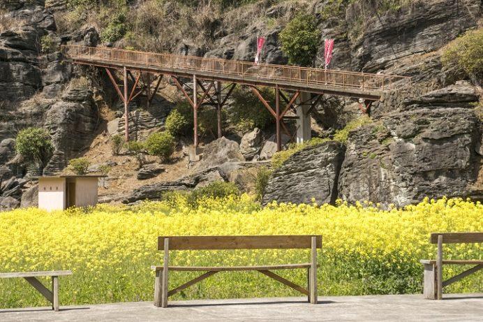 七ツ釜鍾乳洞公園(長崎県西海市)の菜の花と桜の花見