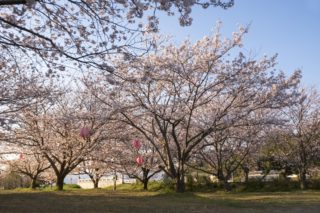 「もりやま桜まつり2020」(諫早市商工会前広場)~花見できます!