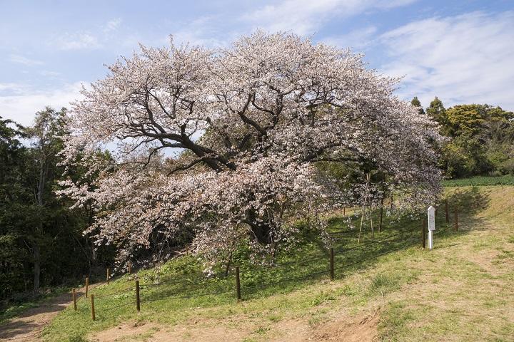 【正確な開花情報はココ!】「平戸の慈眼桜」~樹齢140年の一本桜