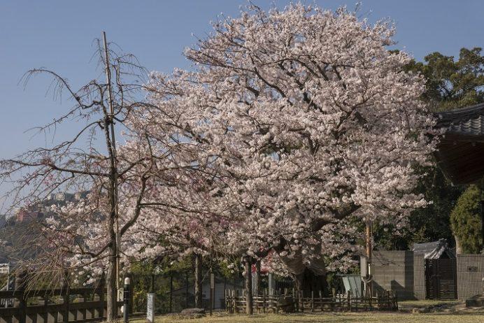清水寺(長崎市鍛冶屋町)の桜、花見