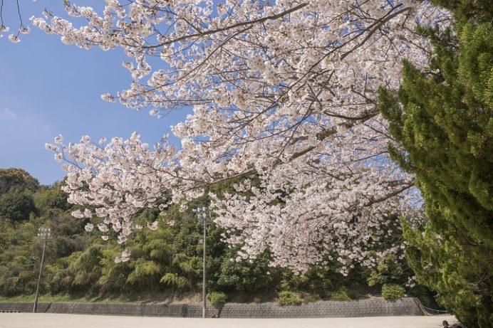 天満宮公園(西彼杵郡長与町高田郷)の桜と花見