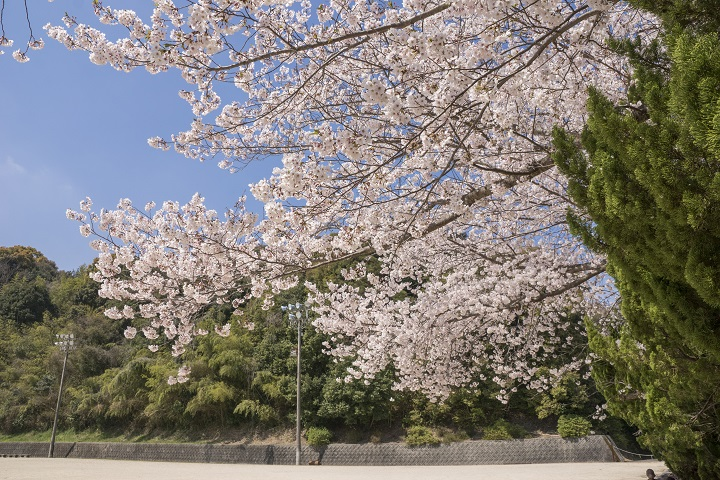 「天満宮公園の桜」(高田郷)【長与町の穴場花見SPOT】