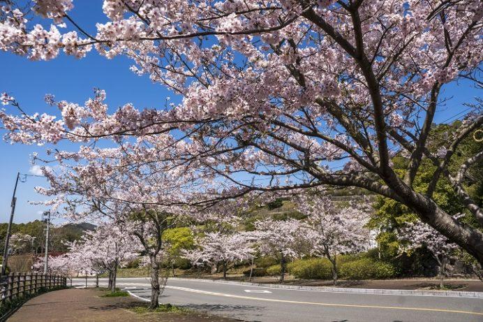 【満開日を特定?開花速報2021!】「稲佐山公園の桜」(長崎市)~ファミリー・カップル向け花見SPOT