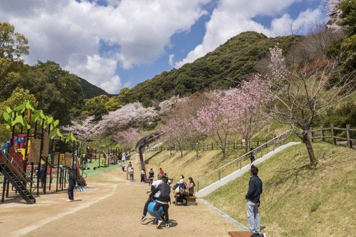 皿山公園の桜【満開はいつ?開花速報2021!】~子供連れにストライク!